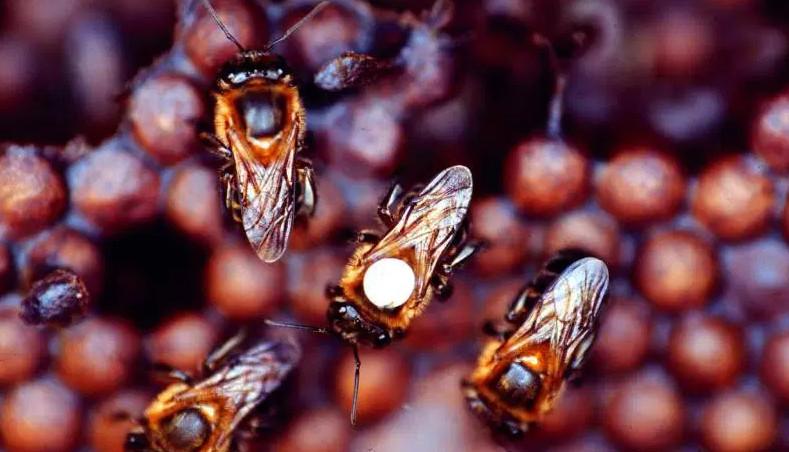 Ong ru không tạo mật giống như cách thông thường