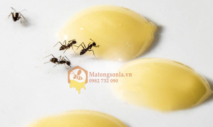 Kiến không bu mật ong là vô lý