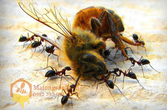 Loài kiến ăn thịt