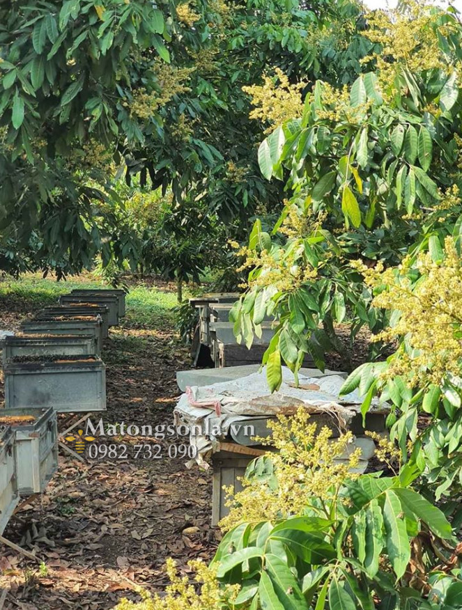 Thời điểm thu hoạch mật ong nhãn cho chất lượng tốt nhất