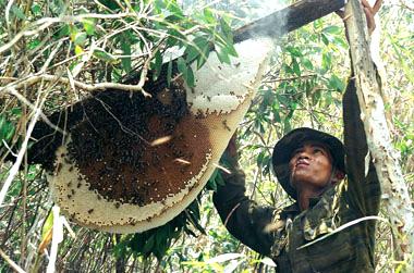 Lấy mật ong rừng