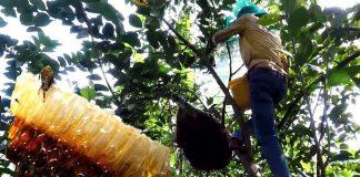 Lấy mật ong rừng tự nhiên nguy hiểm